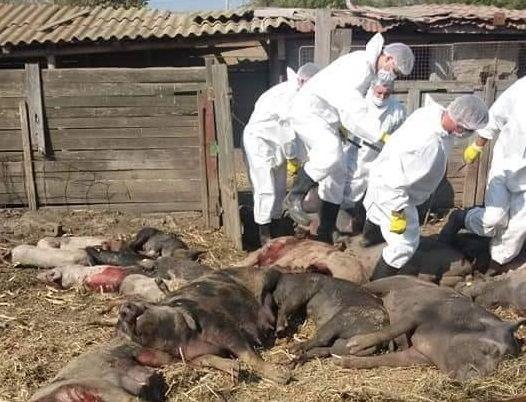 """EXCLUSIV / Declarația unui fermier despre uciderea porcilor: """"A fost un masacru. Sunt șocat. Am în ochi imaginea cu porcii cărora le dădea sângele pe rât"""""""