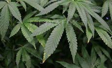 Aproape 52 de kilograme de cannabis, descoperite la Arad. Trei persoane reținute