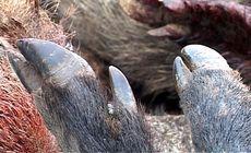 Mistreți morți au fost găsiți într-o pădure din Olt. În județ sunt cinci focare de pestă porcină africană