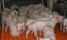"""Câteva zeci de porci """"santinelă"""" au fost duși în Balta Brăilei, ca să se vadă dacă a dispărut virusul pestei porcine"""