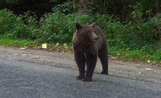 Pui de urs rănit, într-o pădure din Vrancea. A rămas captiv într-un laț