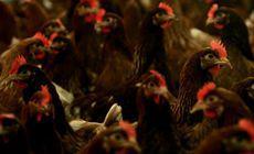 După pesta porcină, vine gripa aviară. Două focare au fost descoperite lângă România