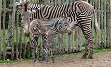 Noua atracție de la grădina zoologică. Este o specie amenințată cu dispariția / FOTO&VIDEO