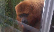 O maimuță a intrat într-un apartament și a atacat un copil de 21 de luni. Animalul a fost filmat când a încercat să intre din nou pe geam