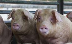 Carne de porc dintr-o zonă de risc cu pestă porcină din Ungaria, găsită într-un depozit din România