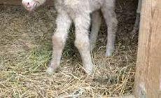 Un măgăruș alb s-a născut la Zoo din Reșița. Sunt doar câteva exemplare în toată lumea