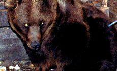 Bărbat muşcat de cap de un urs, la o partidă de vânătoare, lângă fosta cabană a lui Ceauşescu