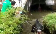 VIDEO | O femeie a fost sfâșiată de un crocodil de 700 de kilograme care era ținut ca animal de companie