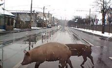 VIDEO | Când o traversa porcul! Imagini incredibile surprinse pe un bulevard principal din Cluj-Napoca