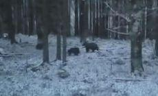 Imagini rare cu o ursoaică cu doi pui, în plină perioadă de hibernare. S-a întâmplat într-o pădure din Alba