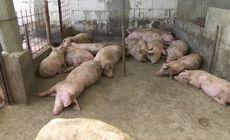 Focar de pestă porcină africană într-o gospodărie din comuna Şerbăneşti, județul Olt