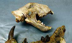 A fost identificată o nouă specie de leu gigantic preistoric. Fosilele acestuia au stat ani de zile uitate în sertarul unui muzeu din Kenya