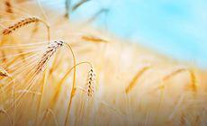 Egiptul a cumpărat grâu din Rusia și România. Importă 180.000 de tone din țara noastră