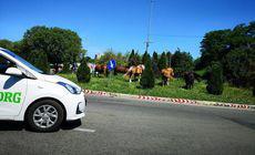 Cai la păscut, într-un sens giratoriu din Cluj |FOTO inedit
