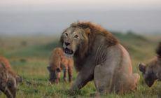 Momentul incredibil în care un leu disperat este încercuit și atacat de 20 de hiene! Ce se întâmpla apoi