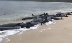 Peste 150 de balene au eşuat pe o plajă din Australia de Vest. 135 au murit. VIDEO