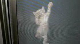 Pisica-păianjen escaladează pereţi