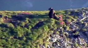 Video | Urşi pe Platoul Bucegi