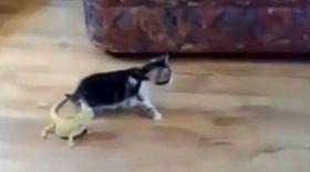 Asta e cea mai fricoasă pisică din lume! Uite cum se sperie de prezenţa unei şopârle!
