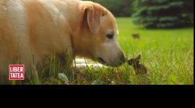 Uriașul canin și piticul urecheat   VIDEO