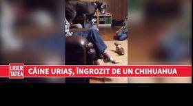 Un câine uriaș se teme de un Chihuahua   VIDEO