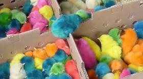 Ai mânca așa ceva? Pui de găină în culori pastelate  VIDEO
