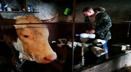 Adrian avea o vacă în curte. Într-o dimineață, a observat ceva la animal. Când a intrat în grajd, și-a făcut cruce.