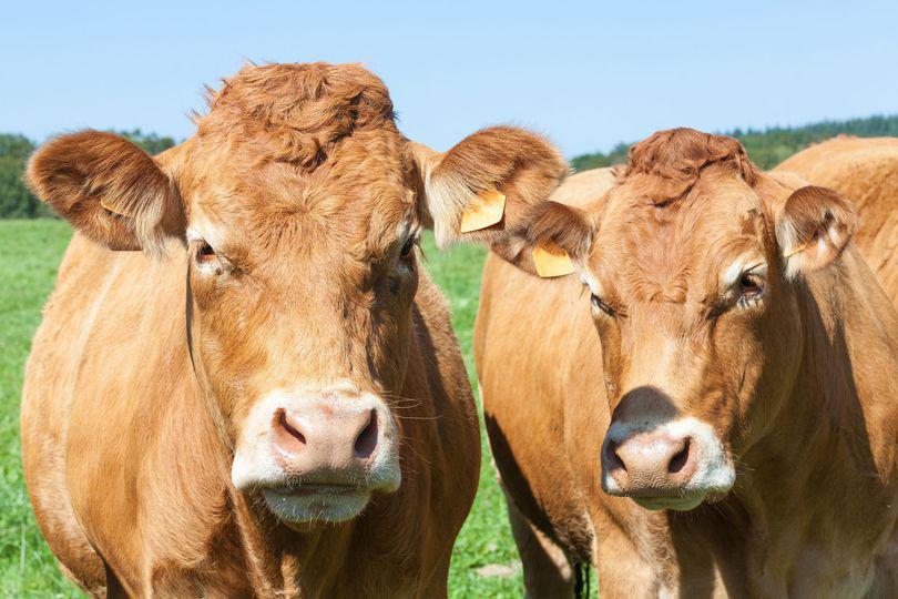 LIBERTATEA TE AJUTĂ: Datele de referință, pentru subvențiile la bovine
