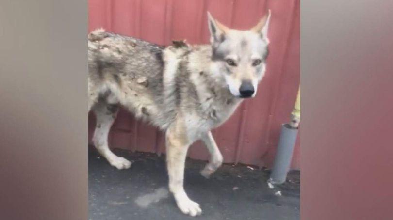 A fost elucidat misterul lupului care se plimba pe străzile orașului Pantelimon